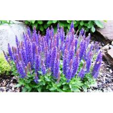 Химическая характеристика и антимикробное действие эфирных масел видов Salvia L.