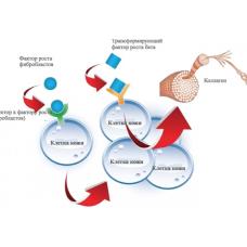 Факторы роста: собственные пептиды организма контролируют работу клеток