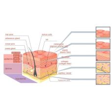К вопросу о защитном барьере кожи
