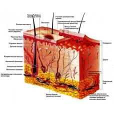 Слой за слоем: структура кожи