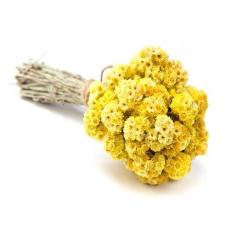 Бессмертник (Helichrysum italicum)