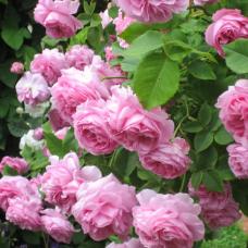 Лечебная сила дамасской розы