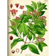 Сандаловое дерево - о разновидностях